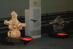 Gigantické obratle titanosaurních sauropodů argentinosaura (vlevo) a puertasaura (vpravo), naznačující kolosální rozměry svých původců. Dnes již víme jistě, že po naší planetě kdysi kráčeli tvorové o hmotnosti patnácti slonů afrických. Kredit: Marco, Wikipedie