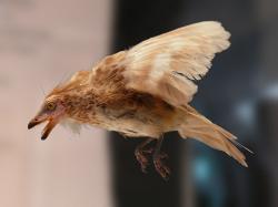 """Model praptáka druhu Iberomesornis romerali z kladu Enantiornithes. Tito dávní ozubení opeřenci představují teropody, jimž se stalo vymírání K-Pg rovněž zcela osudným (snad až na vzácné výjimky). Na rozdíl od archaických forem moderních ptáků zřejmě nedokázali enantiornité dostatečně využívat """"zdroje poslední záchrany"""" – rostlinná semena a plody. Kredit: Museo Nacional de Ciencias Naturales, Madrid; Wikipedia"""