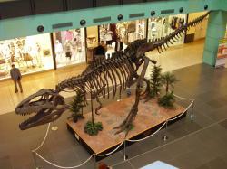 """Rekonstruovaná kostra obřího karcharodontosaurida druhuGiganotosaurus carolinii, vystavená v roce 2007 v pražském nákupním centru Chodov. Obří kostra má špatně smontované přední končetiny, ty by měly ve skutečnosti směřovat """"dlaněmi k sobě"""". Délka lebky činí u tohoto modelu asi 1,6 metru, u největších exemplářů tohoto druhu však mohla být ještě podstatně větší.Kredit:Vlastní snímek ze 4. 3. 2007 (nahrán na Wikipedii pod licencí CC BY-SA 4.0)."""