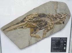 """""""Německý"""" exemplář čínského psitakosaura v Senckenbergově přirodovědném muzeu ve Frankfurtu nad Mohanem. Jde zřejmě o jednu z nejlépe zachovaných fosilií neptačích dinosaurů na světě. Kredit: Daderot, Wikipedie"""
