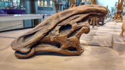 """Replika lebky druhu Charonosaurus jiayinensis, velkého lambeosaurina z pozdní křídy severovýchodní Číny. Tento příbuzný známějšího rodu Parasaurolophus ze Severní Ameriky přežil svého slavnějšího """"bratránka"""" o několik milionů let. Na snímku exponát v expozici bruselského Muzea přírodních věd. Kredit: Drow male; Wikipedie (CC BY-SA 4.0)"""