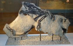 Materiál holotypu druhu Notatesseraeraptor frickensis, objevený v roce 2006 na území švýcarského kantonu Aargau. Jednalo se o malého, vývojově primitivního teropoda, žijícího v období pozdního svrchního triasu, asi před 209 miliony let. Kredit: Ghedoghedo; Wikipedie (CC BY-SA 3.0).