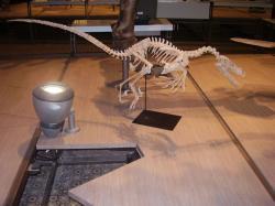 Deinonychosauři, jako byl iVelociraptor mongoliensis, jehož rekonstruovaná kostra je na snímku, patřili k vůbec nejinteligentnějším dinosaurům. Byli hbití, agilní a měli relativně velké mozky. O tom,zda dokázali používat nástroje, však bohužel prakticky nic nevíme.Kredit:Vlastní snímek z expozice Přírodovědeckého muzea Belgie v Bruselu, únor 2009.