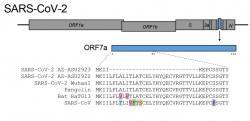 Pozoruhodná delece ve virovém proteinu ORF7a zArizony. Kredit: eurekalert.
