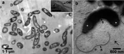 Thalassolituus oleivorans, specialista na uhlovodíky. Kredit: Yakimov et al. (2004).