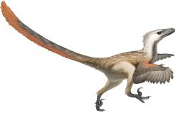 Bleskově rychlým původcem dvojice fosilních stop z Polska mohl být dromeosauridní teropod, příbuzný vzdáleně druhu Velociraptor mongoliensis. Pokud ale skutečně běžel rychlostí kolem 50 km/h, pak by nejspíš svého mongolského bratrance bez problémů předběhl. Ten totiž při své velikosti krocana dosahoval maximální rychlosti sotva 40 km/h. Kredit: Fred Wierum; Wikipedie (CC BY-SA 4.0)