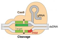 Systém CRISPR/Cas-9. Kredit: marius walter / Wikimedia Commons.