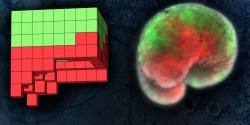 Xenobot. Vlevo schéma, vpravo hotový zombie strojek. Zeleně kožní buňky drápatky, červené buňky srdce. Kredit: Sam Kriegman / UVM.