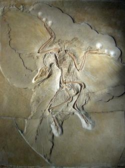 """Nejkrásnější fosilie """"praptáka"""" archeopteryxe (Archaeopteryx lithographica) názorně dokládá, že teropodní dinosauři jsou blízce spřízněni se současnými ptáky. Kredit: H. Raab; Wikipedie (CC BY-SA 3.0)"""