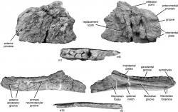 """Fosilní fragmenty čelistí druhu Kelmayisaurus petrolicus. Jejich původce byl pravděpodobně vývojově primitivním karcharodontosauridem, který obýval území současné severozápadní Číny v období spodní křídy, asi před 140 až 100 miliony let. Při délce kolem 10 metrů představoval velkého dravého dinosaura, rozhodně ale nebyl největším ze všech. Fosilní materiál druhu K. """"gigantus"""", jehož páteř byla údajně dlouhá neuvěřitelných 22 metrů, patřil ve skutečnosti jakémusi dosud formálně nepopsanému sauropodnímu dinosaurovi. Kredit: Stephen L. Brusatte, Roger B. J. Benson, and Xing Xu; Wikipedie (CC BY-SA 2.0)"""