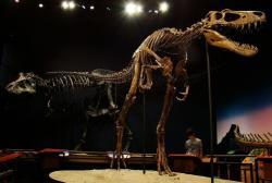 """Paleontologové dosud předpokládali, že mladí jedinci tyranosaurů upřednostňovali menší kořist a nepokoušeli se kousat příliš hluboko (natož do tvrdých kostí). Nový objev ocasního obratle edmontosaura z Montany však ukazuje něco jiného. Už """"náctiletí"""" tyranosauři, jako byl slavný jedinec """"Jane"""" v expozici Burpee Museum, dokázali kousat pořádně hluboko. Kredit: Volkan Yuksel; Wikipedia (CC BY-SA 3.0)"""