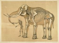 Porovnání kostry člověka a slona afrického, největšího suchozemského tvora současnosti. Přímá pozorování potvrdila, že tito obří chobotnatci dokážou vyvinout rychlost až přes 25 km/h. To přibližně odpovídá maximální rychlosti běhu netrénovaného, průměrně disponovaného člověka. Často uváděné údaje o rychlostech nad 35 km/h se nejspíš nezakládají na pravdě. Kredit: Benjamin W. Hawkins (1860), Wikipedia (volné dílo)