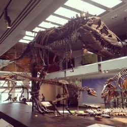 Potřebné množství potravy závisí do značné míry na velikosti dravého živočicha. Velcí jedinci tyranosaura by ročně potřebovali spořádat několik stovek tvorů o velikosti dospělého člověka. V jejich době však byli hojní několikatunoví rohatí a kachnozobí dinosauři, kteří byli mnohem vydatnějším zdrojem masité potravy. Zde trojice různě velkých a starých kosterních exemplářů druhu T. rex v expozici Natural History Museum of Los Angeles County. Kredit: Zissoudisctrucker; Wikipedie (CC BY-SA 4.0)