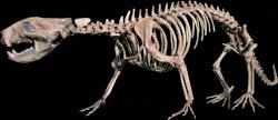 Rekonstruovaná kostra didelfodona, jednoho z největších savců úplného konce druhohorní éry. Při délce 1 metru a hmotnosti kolem 5 kilogramů byl mezi pozdně křídovými savci učiněným gigantem. Kredit: MCDinosaurhunter, Wikipedie (CC BY-SA 3.0)