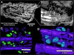 Jeden z mnoha fantastických objevů z lokality Tanis – fosilie nebohého jesetera, v jehož žábrách jsou stále patrné impaktní sférule (mikrotektity) z dopadu planetky Chicxulub v 3000 kilometrů vzdáleném Proto-Karibiku. Tato ryba tedy představuje jednu z přímých obětí osudové události z konce křídové periody. Zmíněná lokalita v Severní Dakotě uchovává svědectví o prvních desítkách minut po osudném dopadu. Můžeme tak studovat účinky této katastrofické události v dříve nepředstavitelných podrobnostech. Kredit: Robert DePalma et al.; Wikipedie (CC BY-SA 4.0)