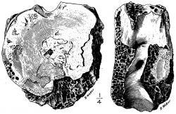 Ilustrace typového exempláře (AMNH 3982) druhu Manospondylus gigas, ve skutečnosti fragment krčního obratle druhu Tyrannosaurus rex. Původně dvojici obratlů z Jižní Dakoty popsal v roce 1892 paleontolog Edward Drinker Cope. Druh T. rex byl přitom formálně popsán na základě kompletnějšího fosilního materiálu z východní Montany až o 13 let později. Kredit: R. Weber; Wikipedie (volné dílo)