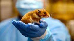 Křeček zlatý zlaboratoří University of Hong Kong. Kredit: Dewi Rowlands/Laboratory Animal Unit/University of Hong Kong.