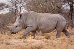 Nosorožec vNamibii. Kredit: Ikiwaner / Wikimedia Commons.