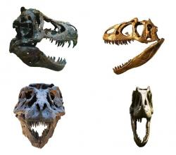 Srovnání stavby lebky a čelistního aparátu tyranosauridů (T. rex; vlevo) a alosauroidů (A. fragilis; vpravo) dokládá, jak výrazný je trend k mohutnění těchto partií právě u pozdně křídových tyranosauridů. U druhu Tyrannosaurus rex pak dosáhl tento trend svého vrcholu. Kredit: ScottRobertAnselmo, Wikipedie (CC BY-SA 3.0)