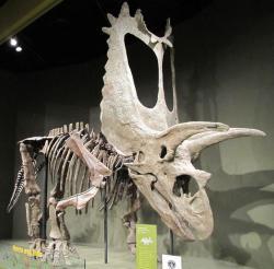 Na rekonstrukci kostry titanoceratopse zaujme zejména extrémně dlouhá lebka, dosahující délky kolem 265 centimetrů. Pouze jeden známý exemplář příbuzného torosaura měl lebku celkem ještě o 12 cm delší. Kredit: Kurt McKee, Wikipedie (CC BY-SA 2.0)