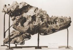Holotyp albertosaura v podobě částečně zachované lebky, objevené J. B. Tyrrellem roku 1884 u řeky Red Deer v kanadské Albertě. Od té doby už bylo nalezeno více než 30 dalších jedinců druhuA. sarcophagus. Převzato jako volné dílo z Wikipedie.