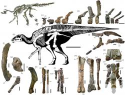 Skeletální diagram kamuysaura a zobrazené části jeho kostry, které se dochovaly až do současnosti. Tento středně velký robustní hadrosaurid dosahoval délky kolem 8 metrů a vážil asi 5 tun. Žil v době před 72 miliony let na území východní Asie a pravděpodobně obýval zejména pobřežní oblasti. Kredit: Genya Masukawa; Yoshitsugu Kobayashi et al. (2019); Wikipedie (CC BY 4.0)