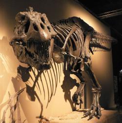 Oči tyranosaurů směřovaly díky rozšíření báze lebky dopředu a umožňovaly tak stereoskopické (binokulární) vidění. Tyranosauři tak dokázali lépe odhadovat vzdálenosti a jejich zrak byl zřejmě velmi dobrý. Velkou otázkou je však jejich schopnost vidění za šera, která byla podle některých vědců rovněž velmi dobrá, podle jiných naopak slabá. Kredit: D. Monniaux, Wikipedie (CC BY-SA 3.0)