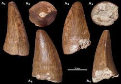 Zub metriorynchida identifikovaný jako Plesiosuchina? indet. (NHMW 2020/0025/0001). Převzato z práce Madzia a kol. (2021).