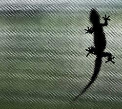 Gekon na skle dokazuje působení van der Waalsových sil. Kredit: Steve Evans, Wikimedia Commons.