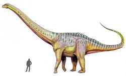 Ačkoliv byl Amphicoelias altus obřím diplodokoidním sauropodem (odhadovaná délka činí asi 18 až 21 metrů a hmotnost kolem 15 až 20 tun), velikosti pravděpodobného rebbachisaurida druhu M. fragillimus rozhodně nedosahoval. Původce kolosálního ztraceného obratle totiž dosahoval délky přes 30 metrů a hmotnosti nejspíš v řádu mnoha desítek tun. Mohl se tak výrazně blížit i největším známým jihoamerickým titanosaurům. Kredit: ДиБгд, Wikipedie (CC BY-SA 4.0)