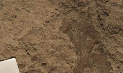 Vykousaná plocha listové čepele, svědčící o návratu původní hmyzí biodiverzity po katastrofě K-Pg. Stáří 62,5 – 62,2 milionu let však ukazuje, že k úplné regeneraci ekosystémů na území současné Argentiny byly možná zapotřebí témeř čtyři miliony let. Kredit: Michael Donovan, Penn State University