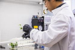 """Long Zhang se svými šplhavnicemi tvořícími v buňkách detoikační protein cytochrom P450 2E1. Svým rostlinkám láskyplně přezdívá """"zelená játra"""". Kredit: Mark Stone/University of Washington."""