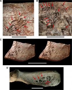 Dobře viditelné pneumatopory (prohlubně či otvory, jimiž do kosti vstupoval vzdušný vak coby součást respiračního systému) na levé kyčelní kosti aerosteona. Tento velký teropod měl zřejmě ve svých kostech množství dutin vyplněných vzdušnými vaky, podobně jako dnes jeho vzdálení ptačí příbuzní. Kredit: C. Abraczinskas – Sereno P. C., Martinez R. N., Wilson J. A., Varricchio D. J., Alcober O. A., et al. (2008); Wikipedie (CC BY 2.5)