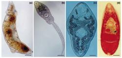 Vývojová stádia motolice Ribeiroia ondatrae. Redie (a) se vyvíjí uvnitř sladkovodního plže, kde se asexuálně množí za vzniku volně se pohybujících cerkárií (b). Cerkárie se encystují ve vhodném mezihostiteli, kterým je nejčastěji larva obojživelníků. Následně se transformují do metacerkárií (c). Po pozření druhého mezihostitele ptákem nebo savcem, se zmetacerkárií stávají dospělci (d), kteří se pohlavně množí a produkují vajíčka. Měřítka 165µm (a), 150µm (b), 82µm (c), 241µm (d). Kredit: Pieter T.J. Johnson, University of Wisconsin.