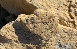 Výlitek otisku rekordně malé fosilní stopy mláděte stegosaurida, jejíž délka činí necelých 6 cm. V australském souvrství Broome Sandstone byly objeveny naopak největší známé stopy stegosauridů, mající průměr až 70 cm adélku kolem 80 cm. Jejich původce byl nepochybně obřím zástupcem této skupiny, dosahujícím ještě podstatně větších rozmerů, než dospělci čínského druhuWuerhosaurus homheni.Kredit:Li-Ta Sing (Lida Xing), University of Queensland.  https://tinyurl.com/yfotat3u