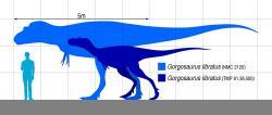 Jedním z kandidátů na původce obou fosilií (pakliže patřily stejnému rodu tyranosaurida, což samozřejmě není jisté), je také druh Gorgosaurus libratus. Tento blízký příbuzný albertosaura dosahoval zhruba stejné velikosti, tedy dospělé délky kolem 9 metrů a hmotnosti přibližně 2 tuny. K těmto rozměrům se však musel nejdříve dopracovat, a to z embrya, ktreré se vešlo do vajíčka dlouhého maximálně asi půl metru. Zde siluety dospělce a odrostlého mláděte gorgosaura v porovnání s dospělým člověkem. Kredit: Slate Weasel; Wikipedie (CC 0)