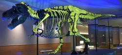 """Rekonstruovaná kostra """"Sue"""" v muzejní expozici chicagského Field Museum of Natural History. Zeleně nasvícené jsou skutečné fosilní kosti, zbytek kostry byl doplněn dodatečně vyrobenými umělými součástmi skeletu. Dva ocasní obratle a levá lýtková kost tohoto obřího dravého dinosaura byly za jeho života prokazatelně zasaženy chronickou osteomyelitidou. Kredit: Evolutionnumber9; Wikipedie (CC BY-SA 4.0)"""