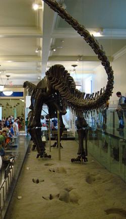 Série stop od říčky Paluxy, umístěná pod smontovanou kostrou sauropoda druhu Apatosaurus (Brontosaurus) excelsus. Ve skutečnosti jsou stopy asi o 40 milionů let mladší než tento obří diplodocid v expozici AMNH v New Yorku. Kredit: Joseph Lin, Wikipedie