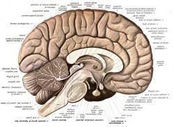 Řez lidským mozkem: *corpus callosum *je světlý oblouk spojující hemisféry koncového mozku. Světlejší barva je dána velkým obsahem bílé mozkové hmoty - tedy axonů obalených myelinovými pochvami.