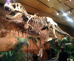 """Exemplář tyranosaura """"Samson"""" byl objeven v Jižní Dakotě roku 1981. Některé parametry jeho kostry nasvědčují možnosti, že šlo o jiný druh rodu Tyrannosaurus, než zatím jediný známý druh T. rex. Většinový názor se ale přiklání k možnosti, že jde o tvarovou variaci v rámci již známého druhu. Kredit: Tydence – his name is Sampson, Wikipedie (CC BY 2.0)"""