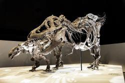 Tyrannosaurus rex byl několikatunovým dravým obrem, schopným uchvátit kořist o velikosti dnešního slona. Podle posledních zjištění nebyl extrémně rychlým běžcem, dokázal ale efektivně a relativně rychle kráčet na dlouhé vzdálenosti. Zde v expozici Houston Museum of Natural Science spolu s nodosauridem rodu Denversaurus schlessmani. Kredit: Evolutionnumber9; Wikipedie (CC BY-SA 4.0)