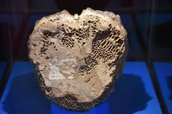 Typový exemplář dnes již neplatného taxonu Manospondylus gigas, stanoveného roku 1892 Edwardem D. Copem. Fosilie v podobě dvou erodovaných obratlů objevil Cope na území Jižní Dakoty a považoval je za zkamenělé kosti jakéhosi obřího ceratopsida (rohatého dinosaura). Dnes už víme, že jde o tyranosauří obratle, vzhledem k nedostatečné diagnostické hodnotě fosilií však nehrozí, že by zmíněné vědecké jméno mohlo nahradit o 13 let mladší a mnohem populárnější binomen Tyrannosaurus rex. Kredit: Evolutionnumber9; Wikipedie (CC BY-SA 4.0)