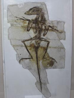 """""""Dave"""" (NGMC 91) z Geologického muzea v Číně, nádherně dochovaná fosilie malého dromeosauridního teropoda druhu Sinornithosaurus milenii. Někteří paleontologové se dříve domnívali, že tento opeřený dravec mohl být vybaven jedovými žlázami a svoji kořist tak vlastně dokázal """"uštknout"""". Dnes se vědecká obec přiklání k názoru, že schopností vpravovat do těla kořisti jed ve skutečnosti nedisponoval. Kredit: Jonathan Chen; Wikipedia (CC BY-SA 4.0)"""