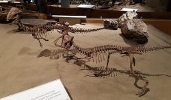 Rekonstrukce koster severoamerického pachycefalosaurida druhu Stegoceras validum. Blízce příbuzným druhem byl nově popsaný Sinocephale bexelli z čínského Vnitřního Mongolska. Tento východoasijský druh byl po dlouhá desetiletí chybně řazen právě do rodu Stegoceras. Kredit: Cherrysweetdeal; Wikipedia (CC BY 2.0)