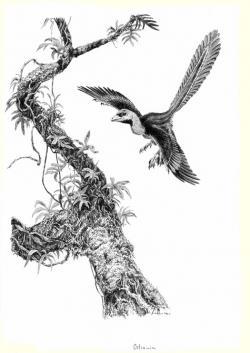 """Jedním z důvodů, proč dinosauři přečkali hromadné vymírání na konci triasu a na počátku jury se stali dominantními suchozemskými obratlovci, je i jejich fyziologie a anatomie. Mnozí z nich byli patrně endotermní a uzpůsobení pro aktivní a energeticky náročný pohyb. Velikou výhodu pak představoval i jejich vysoce výkonný respirační systém. Ptáci se z malých dravých dinosaurů mohli vyvinout právě i díky těmto fyzickým atributům. Na obrázku je druh Ostromia crassipes, pozdně jurský anchiornitidní teropod, považovaný původně za exemplář slavného """"praptáka"""" archeopteryxe. Kredit: Vladimír Rimbala, ilustrace k autorově knize Dinosauři – rekordy a kuriozity."""