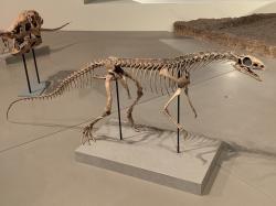 """Rekonstrukce kostry silesaurida druhu Asilisaurus kongwe, popsaného formálně roku 2010 ze sedimentů tanzanijského souvrství Manda. Ačkoliv se nejednalo o """"pravého"""" dinosaura, ale pouze o zástupce jejich sesterské skupiny, asilisaurus spolu s dalším dinosauromorfem druhu Nyasasaurus parringtoni představuje důkaz toho, že také dinosauři museli vzniknout už před více než 240 miliony let. Asilisauři dosahovali délky v rozmezí 1 až 3 metrů a žili v době před 247 až 242 miliony let, tedy v období středního triasu. Kredit: Zissoudisctrucker; Wikipedie (CC BY-SA 4.0)"""
