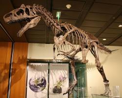 """Exemplář """"Big Al 2"""", velmi dobře dochovaný a vysoce kompletní jedinec alosaura, spadající do druhu A. jimmadseni. Fosilie byla objevena v roce 1996 a představuje jednu z nejkompletnějších koster velkého teropoda na světě. Stejně jako """"první"""" Big Al i tento exemplář vykazuje množství zranění a poškození kostní hmoty následkem infekcí. Kredit: The Wookies; Wikipedie (CC BY 2.5)"""