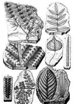 Ilustrace fosilních rostlin z Scheuchzerova díla Herbarium deluvianum, publikovaného roku 1709. Švýcarského přírodovědce tak můžeme pokládat i za jakéhosi spoluzakladatele budoucího vědního oboru paleobotaniky. Převzato z Wikipedie.