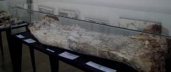 Fosilní stehenní kost druhu Arrudatitan maximus (dříve Aeolosaurus maximus), středně velkého titanosaurního sauropoda, žijícího v době před zhruba 70 miliony let na území současné Brazílie. Tento sauropod byl zástupcem dinosauří megafauny v ekosystémech reprezentovaných dnes geologickým souvrstvím Adamantina. Kredit: Marco Aurelio Esparz; Wikipedia (CC BY-SA 3.0)
