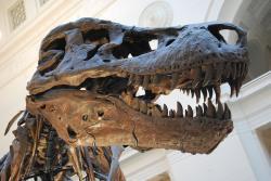 """Staronový král """"tyranských ještěrů"""", její výsost Sue. Lebka dlouhá téměř 1,5 metru a hmotnost menšího autobusu z ní činila jednoho z nejděsivějších predátorů v dějinách planety Země. Utržená zranění a infekce jí nejspíš značně znepříjemňovaly její 28 let dlouhý život. Kredit: ScottRobertAnselmo, Wikipedie (CC BY-SA 3.0)"""